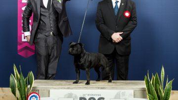 Erfolgreichster Staffordshire Bull Terrier in Luxemburg