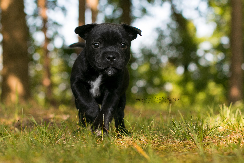 englische_Staffordshire_Bull_Terrier_Zucht_Welpen_21