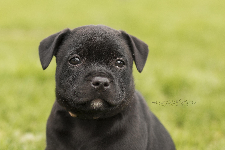 englische_Staffordshire_Bull_Terrier_Zucht_Welpen_3