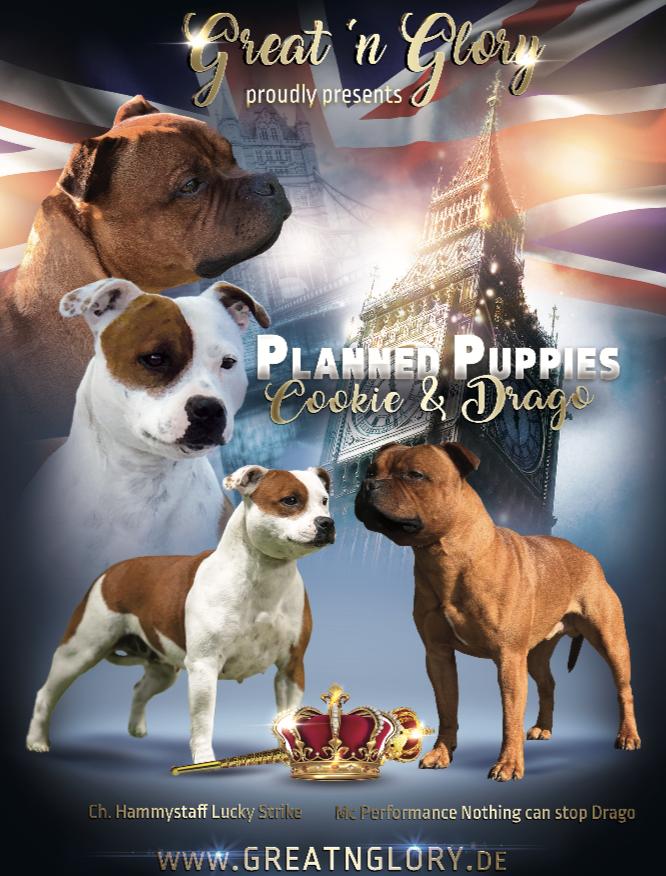Welpenpuppies Great N Glory Zucht Von Staffordshire Bull Terrier