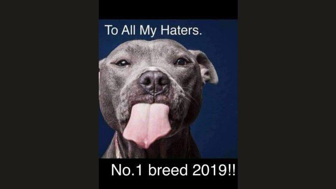 Der Staffordshire Bull Terrier Nr. 1 Rasse United Kingdom 2019